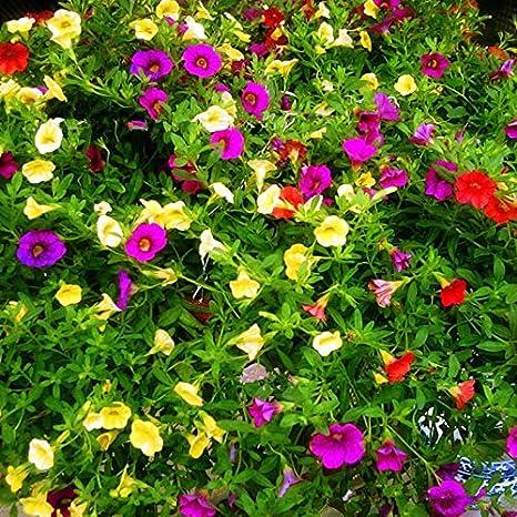 Amazon com : Perennial Flowers Garden Morning Glory Seeds Ipomoea
