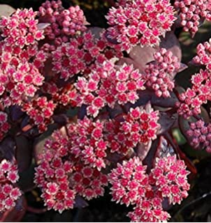 Sedum telephium Große Fetthenne Black Beauty