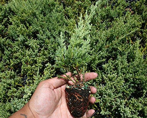 Nicks Compacta Juniper Qty 60 Live Plants Groundcover by Florida Foliage