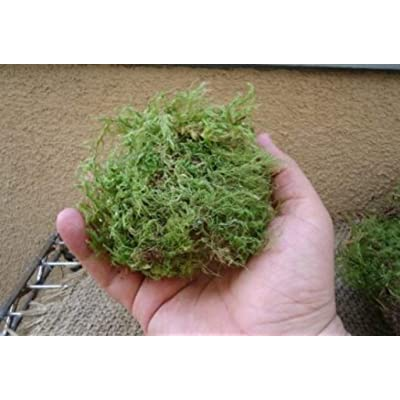 "4""x6"" Green Fresh Sheet Moss for Terrariums and Orbs - CSR292 : Garden & Outdoor"