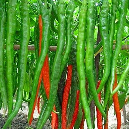 Creative Farmer Hybrid Green Chilli Seeds (Pack of 100 Seeds)