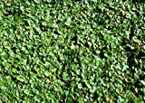 1 Lb Dichondra SEEDS (Dichondra Repens) Ground Cover WB