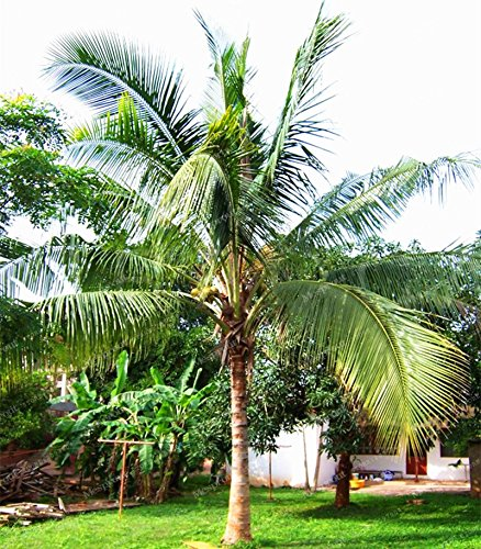 10 Pcs Coconut Tree Seeds Giant Miracle Fruit Tree High Nutrition Juicy Fruits Amazing Perennial Woody Plants DIY Home Garden (Coconut Tree Seeds)