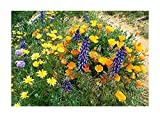 Search : California Native Mixed Wildflowers - Wine Country -13 Varieties of California Natives