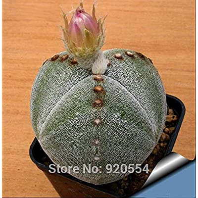 Real, 20pcs/lot cactus seed, Astrophytum myriostigma f. tricostatum Succulent plant bonsai plant DIY home garden : Grocery & Gourmet Food