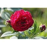 Ramblerrose Chevy Chase - Kräftig entwickelte Pflanze im 6lt-Topf