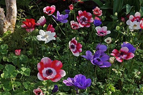 Imagekind Wall Art Print Entitled Forest Fling Anemone Style by Byron Varvarigos | 48 x (Poppy Anemone Mix)