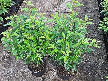 Portugiesischer Kirschlorbeer Containerpflanzen 60-80 cm