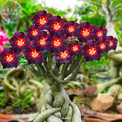 2018 Hot Sale!! Maslin Rare Brown Black Adenium Desert Rose with Fire Red Heart Flower, 2 Seeds, Bonsai Compact Single Petal Flowers