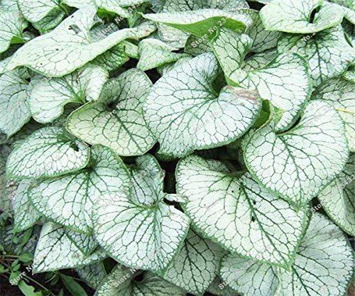 20 PC / Bolsa raras Tailandia real Caladium plantas de interior Semillas jardín de DIY Semillas Suministros Bonzai 21 tipos calientes de la venta: Amazon.es: Jardín