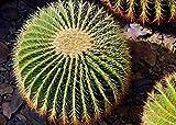 LAMINATED 33x24 Poster: Cactus Spur Plant Cactus Greenhouse Prickly Close Cactaceae Hedgehog Cacti Ball Cactus Echinocactus Succulents Thorns