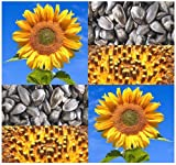 PEREDOVIK Sunflower Seeds ~ Best For: Deer, Turkey, Dove, Pheasant, Rabbit, Birds and Quail ~ PLOT FOOD WILDLIFE - Zones 1-10 - By MySeeds.Co