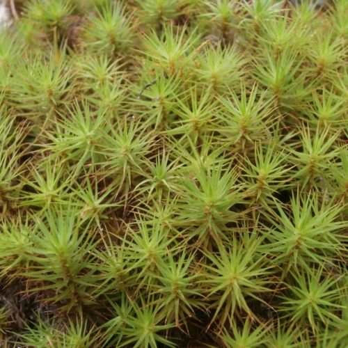 Hair Cap Moss - Rare Shrub Seeds - Rates First Class Usps Shipping International