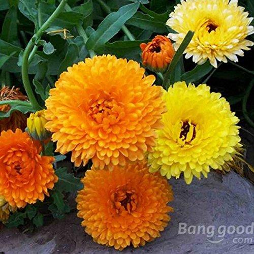 mark8shop 50couleurs mélangées souci Calendula officinalis Bulk Graines de fleurs