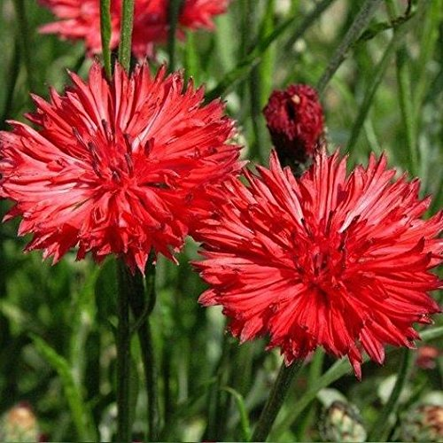 Growing Bachelor Buttons - Bachelor Button Tall Red Cornflower Flower Seeds- 200 Premium Heirloom Seeds, Bright & Beautiful! - ON Sale! - Centaurea Cyanus - (Isla's Garden Seeds),80-90% Germination Rates, Highest Quality!