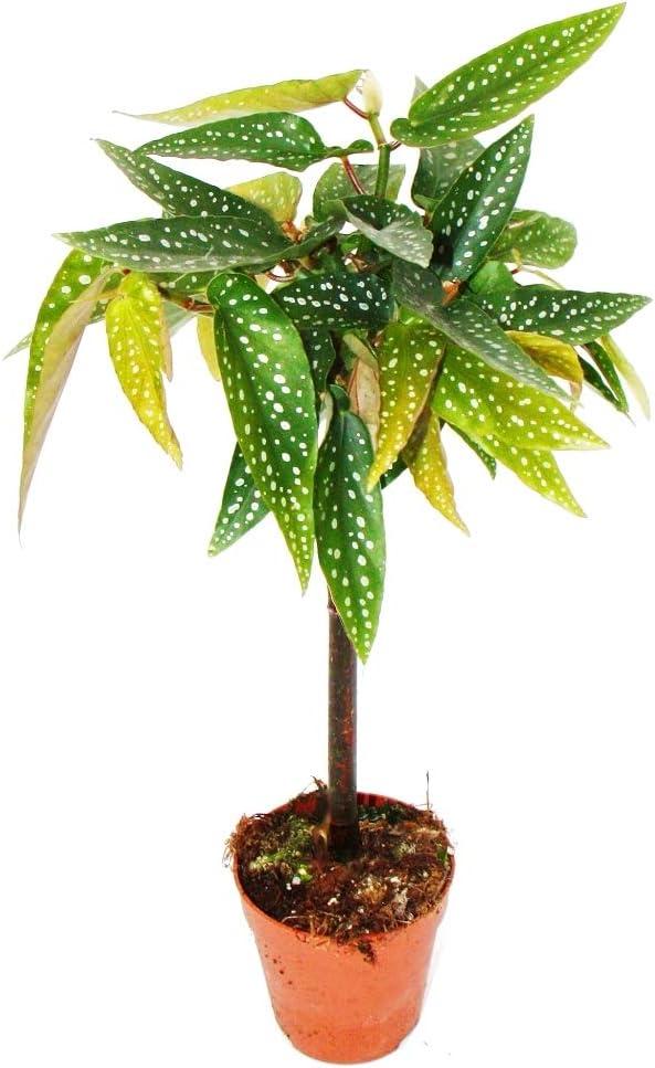 Afbeeldingsresultaat voor begonia tamaya