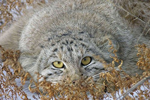 Pallas Cat (Pallas Cat - E - Art Print Poster,Wall Decor,Home Decor(24x16inches))
