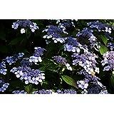Hortensie Kleinwüchsige Gartenhortensie Bluebird Hydrangea serrata Bluebird 30-40 cm hoch