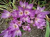 Giant Colchicum Fall Crocus 1 Bulb - DEER RESISTANT - 20/+ cm
