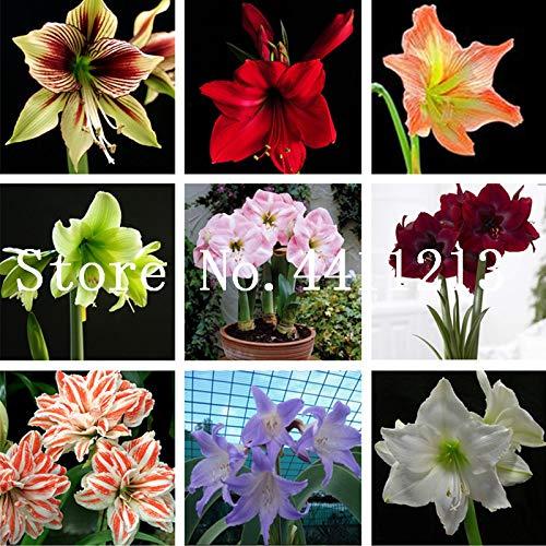 Hippeastrum per la casa e giardino Barbados Lily Vaso da fiori prime vista 100 pz//borsa Vero fiore di amarilli non Bulbi Fiore di bonsai misto