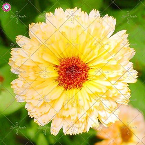 100 piezas Calendula officinalis Semillas Semillas hermosas flores de plantas Bonsai perenne para jardín fácil de cultivar 4: Amazon.es: Jardín