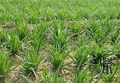 Chinese Chives Allium Tuberosum Seeds For Planting 1200pcs, Perennial Herbs Vegetable Seeds, Chinese Leek Oriental Garlic Seeds