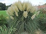 New Life Nursery & Garden / - / - White Pampas Grass, Trade Gallon Pot