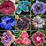 qc382mxt160pcs Bonsai Seeds Hibiscus rosa-sinensis Perennial Flower Colorful Garden Home
