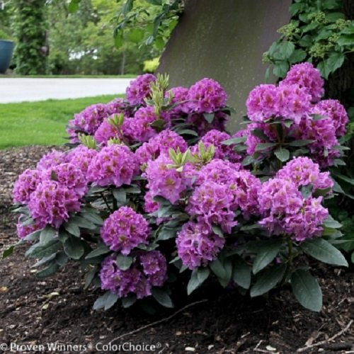 Garden Rhododendron - Dandy Man Purple Rhododendron - Quart Pot - Proven Winners