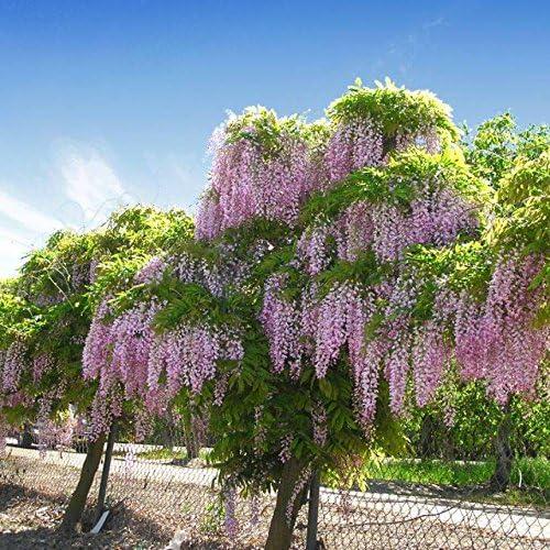 Amazon Com 50 Bolusanthus Speciosus Seeds African Wisteria Tree
