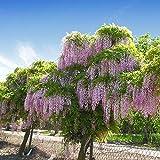 50 Bolusanthus speciosus Seeds, African Wisteria tree Seeds, Tree Wisteria Seeds