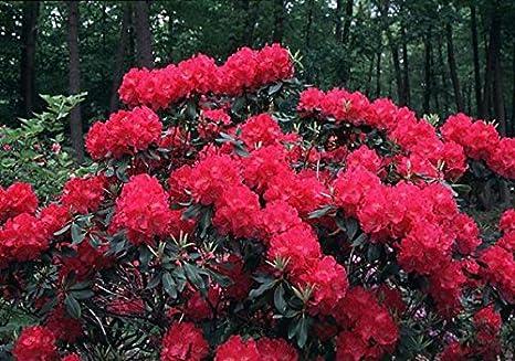 Amazon Com Nova Zembla Red Rhododendron Quart Pot Garden Outdoor