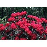 Nova Zembla Red Rhododendron - Quart Pot