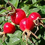 Rose Hip Seeds (Rosa canina) 20+ Rare Flowering Medicinal Herb Seeds