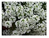 David's Garden Seeds Flower Alyssum Sweet Alyssum SL1932 (White) 500 Non-GMO, Heirloom Seeds