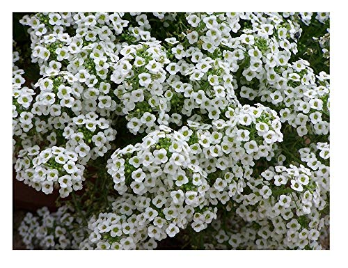 David's Garden Seeds Flower Alyssum Sweet Alyssum SL1932 (White) 500 Non-GMO, Heirloom Seeds (Alyssum Sweet Seeds)