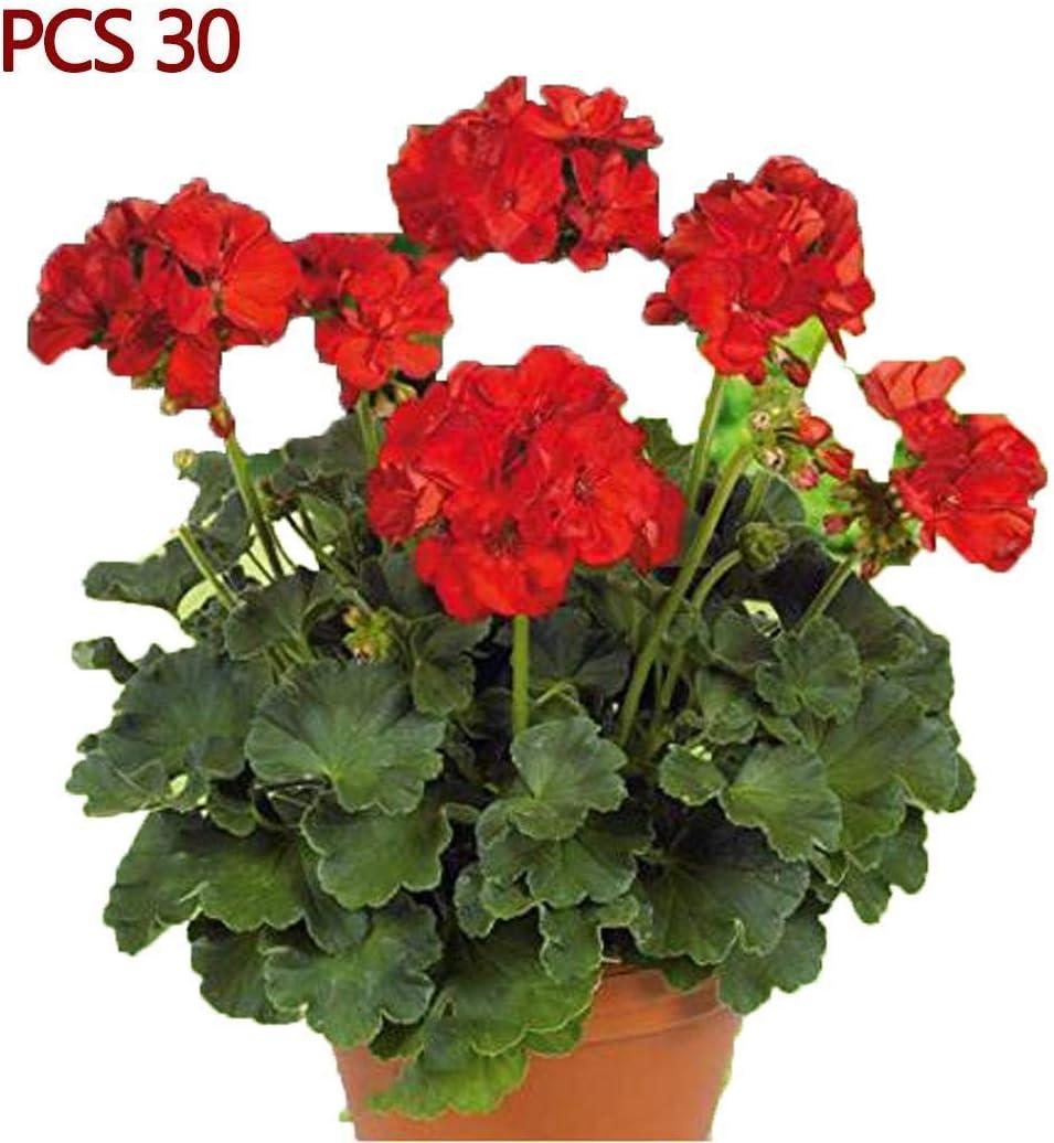 Kaimus G/éraniums Lierre de plantes de fleurs de g/éranium rouge /à la maison pour jardin en plein air Graines