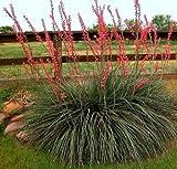 50 Hesperaloe parviflora Seeds Texas Red Yucca Redflower False Hummingbird koral