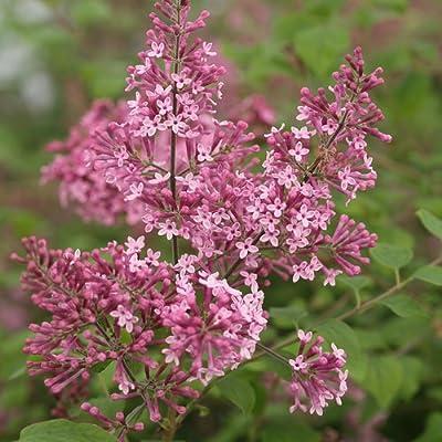 Pink Perfume Lilac Tree Certified 10 Seeds #3928 Item UPC#636134972465