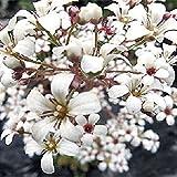 75 Pure White Saxifraga Flower Seeds