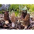 Black Morel Morchella Elata Seeds Spores Morel Garden Mushrooms Mycelium Spawn (25g) by Garden Pleasure