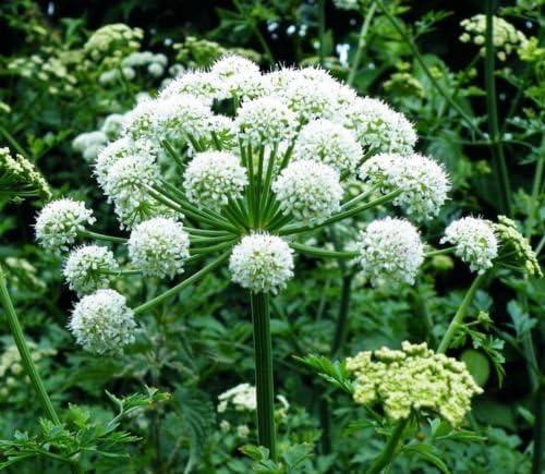50 SEMILLAS GINSENG Dong Quai china Angelica Sinensis Plantas medicinales:  Amazon.es: Jardín