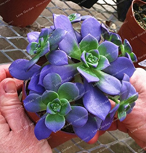 100 Seeds Blue Succulents Witchford Lithops Cactus Seeds Beautiful Stone Flower Seed Pseudotruncatella Perennial for Home Garden
