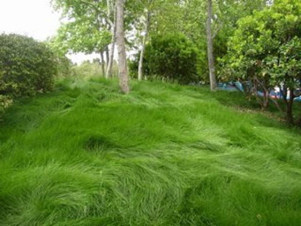 Creeping Red Fescue Lawn Grass Seeds, 1 Pound by Seeds2Go (Image #2)