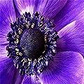 Move on 100Pcs Rare Beautiful Purple Sunflower Seeds for Planting