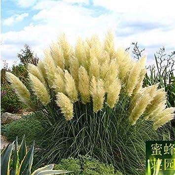 Pu Wei Grassamen Schilf Garten Heimtextilien Einpflanzen 100 Samen