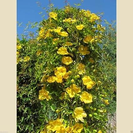 Amazon carolina yellow jessamine gelsemium sempervirens carolina yellow jessamine gelsemium sempervirens climbing vine mightylinksfo