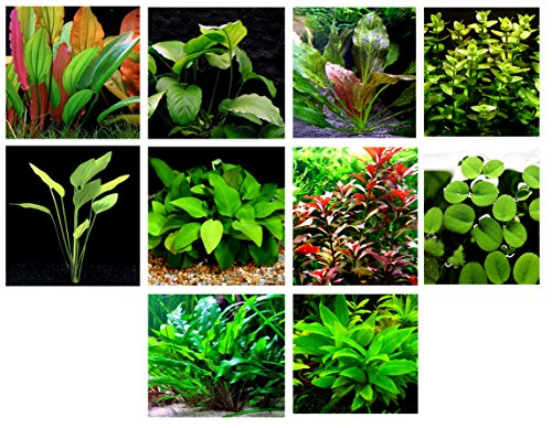40 Live Aquarium Plants / 10 Different Kinds - 3 Amazon Swords (3 kinds, 2- RED), 2 Anubias (2 kinds), Red Ludwigia and much more! Great plant sampler for 30-40 gal tanks!