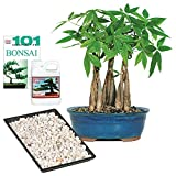 Brussel's Live Money Tree Grove Indoor Bonsai - Complete Gift Set - 4 Years Old; 10'' to 14'' Tall with Decorative Container, Humidity Tray, Deco Rock, Bonsai Pro Fertilizer & Book
