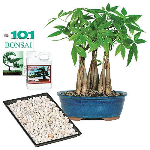 Brussel's Money Tree Grove Bonsai - Large - Complete Gift by Brussel's Bonsai